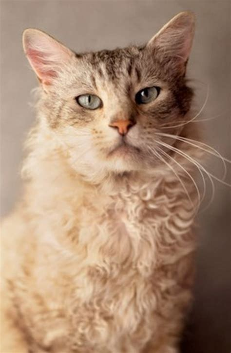 best self cleaning litter box curly haired cat breeds cat breeds encyclopedia