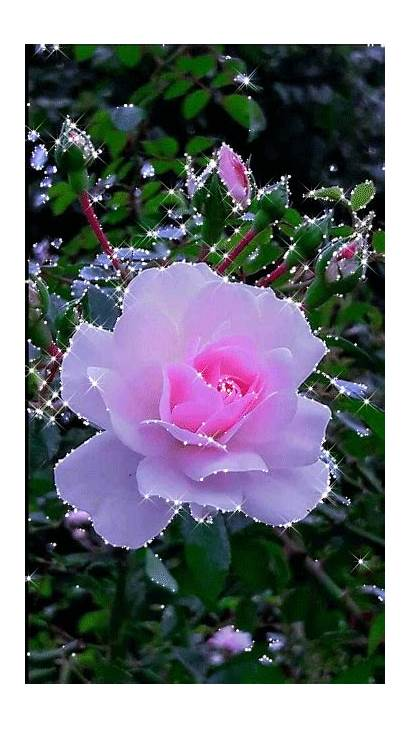 Flowers Flower Nature Rose Roses Pink Wallpapers