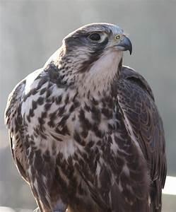 National Bird Of Hungary -Saker Falcon - 123Countries.com  Falcon