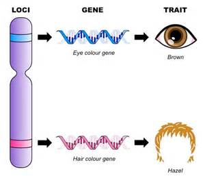 Gene and Chromosome Loci