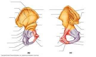 Pelvic Girdle Bones Unlabeled Diagram