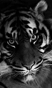 Sumatran Tiger   Sandra Wildeman   Flickr