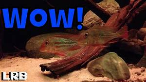 FFPFeatured Geophagus Winemilleri (How to Breed and More