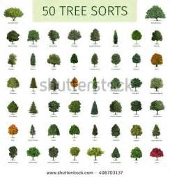 hornbeam tree stock images royalty free images vectors