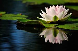 Wallpaper   Water Lily  Reflection  Quiet  Leaves