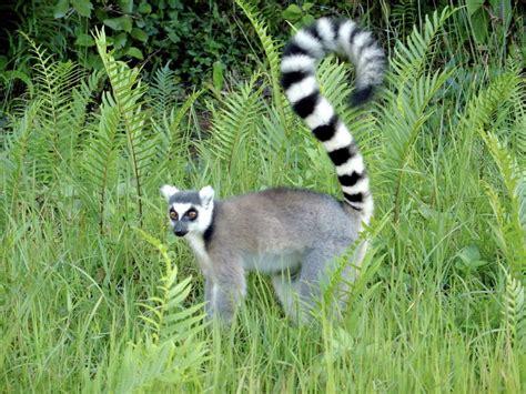 Wildlife of Madagascar Wikipedia