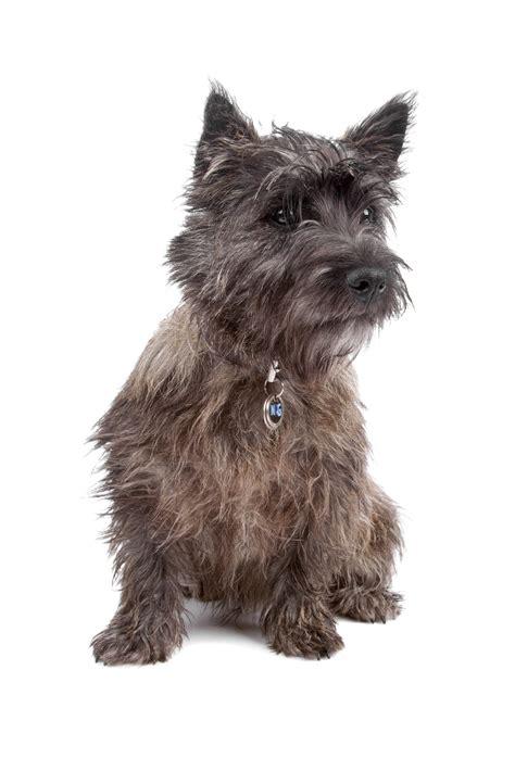 cairn terrier dog breeds net
