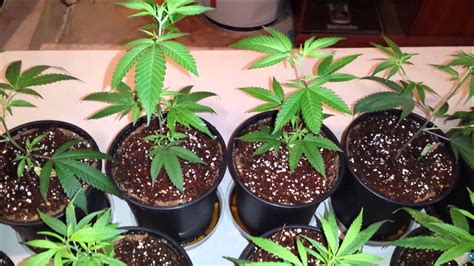 grow ls for weed how to grow cannabis in coco week 1 vegetation feeding