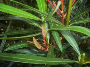 Wann Schneidet Man Hortensien Zurück : wann schneidet man oleander oleander schneiden das ist zu beachten garten mix oleander ~ Eleganceandgraceweddings.com Haus und Dekorationen