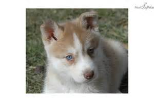 Baby Siberian Husky for Sale