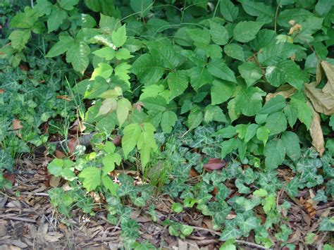 poison plant pictures poison ivy fear no more k4 outdoors