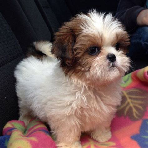 Cute Shower Caps by 15 Shih Tzu Puppies That Prove They Re The Best Breed Ever