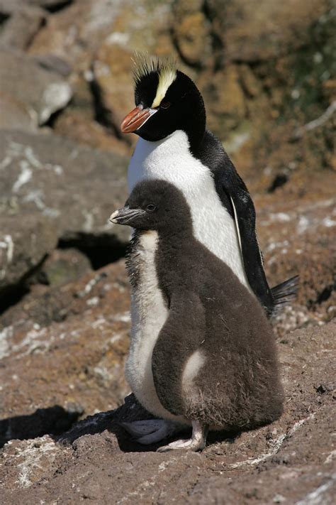 Crested Penguin Chick