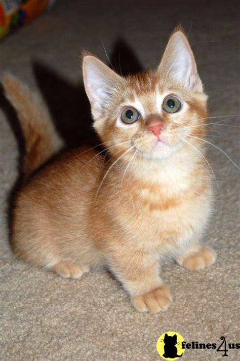 Munchkin Kitten For Sale Munchlets 10 Yrs And 4 Mths Old