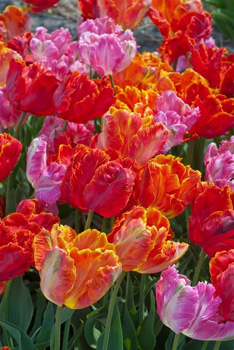 tulip bulbs item  parrot blend  sale