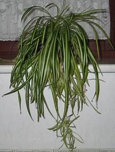 Zimmerpflanze Weiße Blüten : gr nlilie wikipedia ~ Markanthonyermac.com Haus und Dekorationen