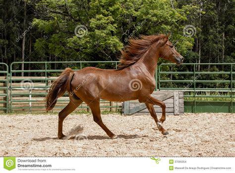 brown horse running wild arabian wildes browns pferd staub hintergrund