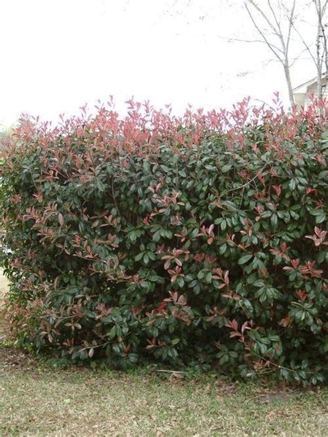 tip photinia plantfiles pictures red tipped photinia fraser photinia photinia x fraseri by hgurule