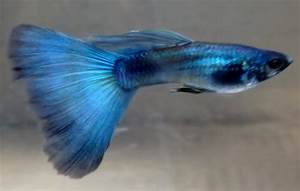 Buy Moscow Blue Guppy Online at Aquarium Warehouse