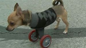 Chihuahua Born With No Front Legs Gets Scooter Video - ABC ...
