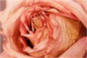 Wann Blüht Flieder : video beim flieder verwelkte bl ten abschneiden so wird ~ Lizthompson.info Haus und Dekorationen