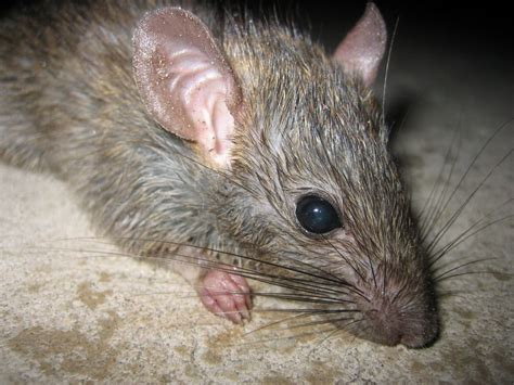 picture of a rat rat animal wildlife