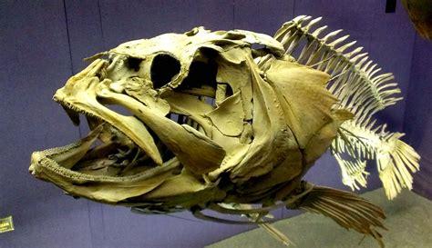 skeleton grouper skull bones fish bone australian armadillo found skulls tooth highly recommended museum skeletal fisher sunfish skeletons ocean deep