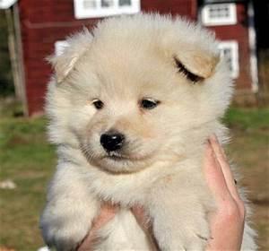 Finnish Lapphund Puppy Tequila | www.pixshark.com - Images ...