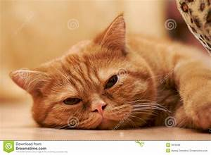 Tired Cat Royalty Free Stock Images - Image: 1876399