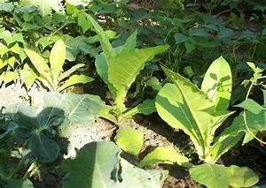 Tabak Selber Anbauen : tabak selber im garten anbauen gartenblog webmaster blog garten ideen bilder und notizen ~ Frokenaadalensverden.com Haus und Dekorationen