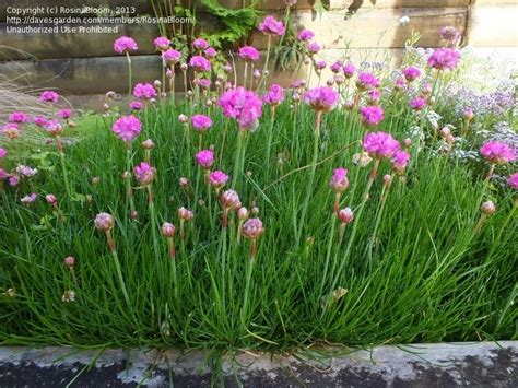 thrift plant plantfiles pictures sea thrift sea pink common thrift armada rose armeria maritima by