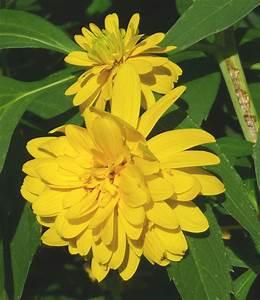 Sonnenhut Pflanze Kaufen : gef llter sonnenhut rudbeckia laciniata goldquelle kaufen g nstig bestellen f r ~ Buech-reservation.com Haus und Dekorationen