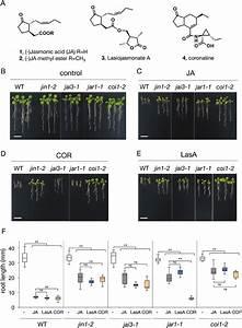 Effects Of Lasa On Arabidopsis Plants   A  Structure Of Jasmonic Acid