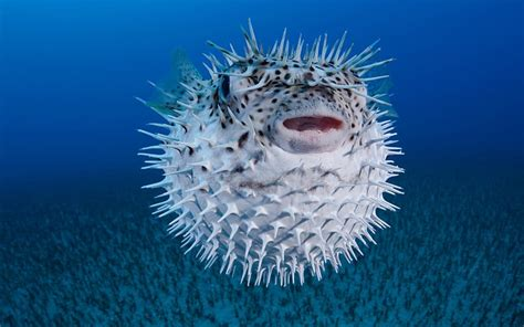 Poisonous Pufferfish Hospitalises Eleven Family Members In