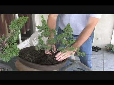create  shimpaku juniper group bonsai youtube