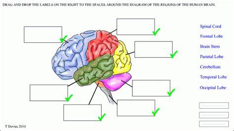 brain parts worksheet school human
