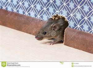Maus In Wohnung : haus maus mus musculus kommt in den raum durch ein loch in der wand stockfoto bild 47750044 ~ Markanthonyermac.com Haus und Dekorationen