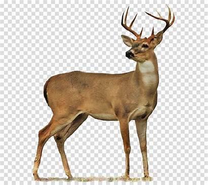 Deer Transparent Clipart Clip