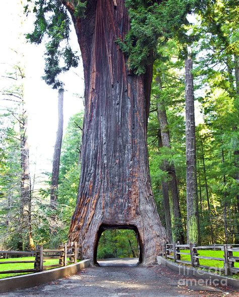 chandelier drive thru redwood tree photograph by david