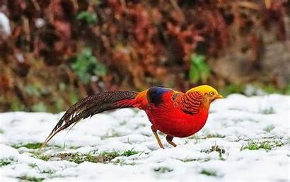 Pheasant Golden Birds Wallpapers Desktop Bird Background