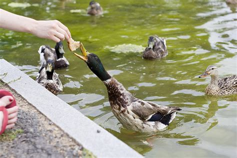feeding ducks bread recipe archives down to earth mother