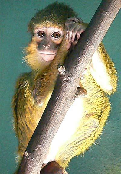 Yellow African Monkey