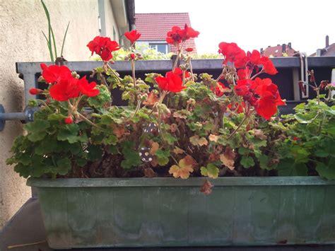 Geranien überwintern Im Blumenkasten by Geranien 252 Berwintern So 252 Berleben Ihre Pelargonien Den