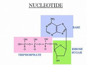Video Review Two  Nucleotides