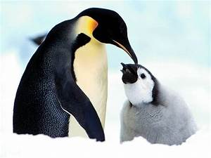 Baby Penguins images baby penguins HD wallpaper and ...