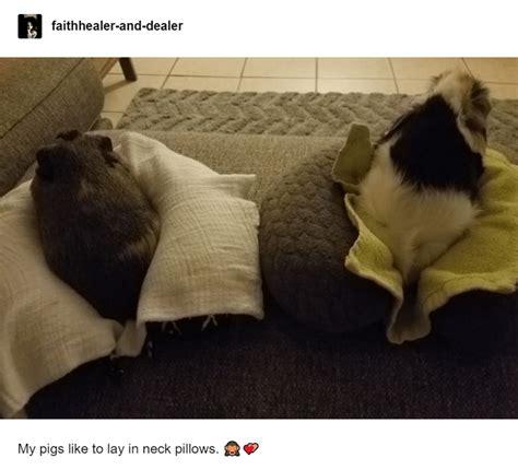 guinea pig memes   cute  funny  guinea pigs