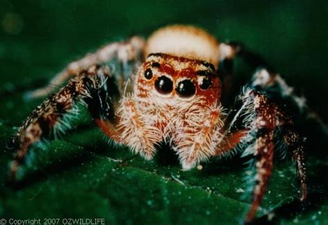 jumping spider opisthoncus sp