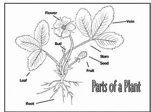 Diagram  Diagram Of Plant Parts Worksheet