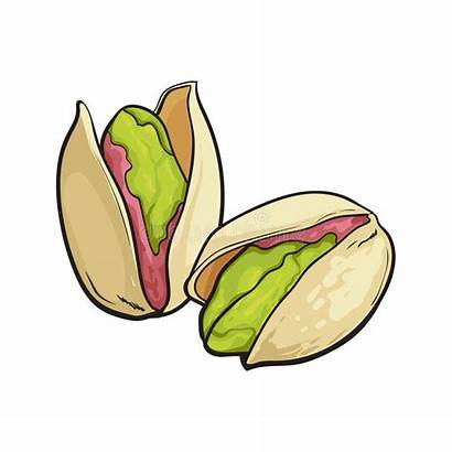Pistachio Nuts Drawing Sketch Background Hand Vector