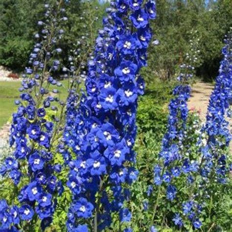 delphinium blue bird large selection of perennials order now
